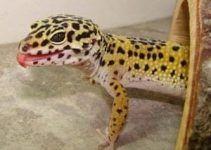 el gecko leopardo caracteristicas