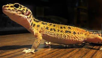 reproduccion del gecko leopardo