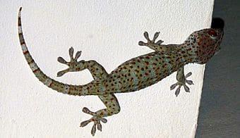 cuidados del gecko leopardo