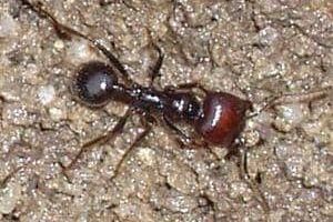 las hormigas messor barbarus