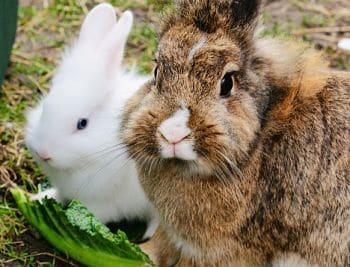 que pueden comer los conejos